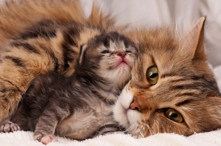 kitten cuddling with Momma